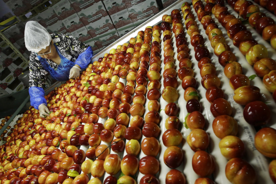 Apples being sorted on line