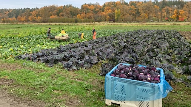 Harvest of cabbage field on farm in Snoqualmie Valley before October 2019 floods