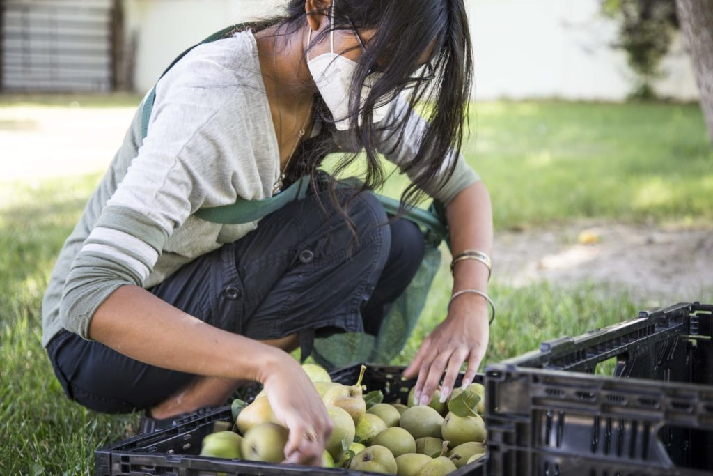 4_Diya_Pear_Sorting_Harvest